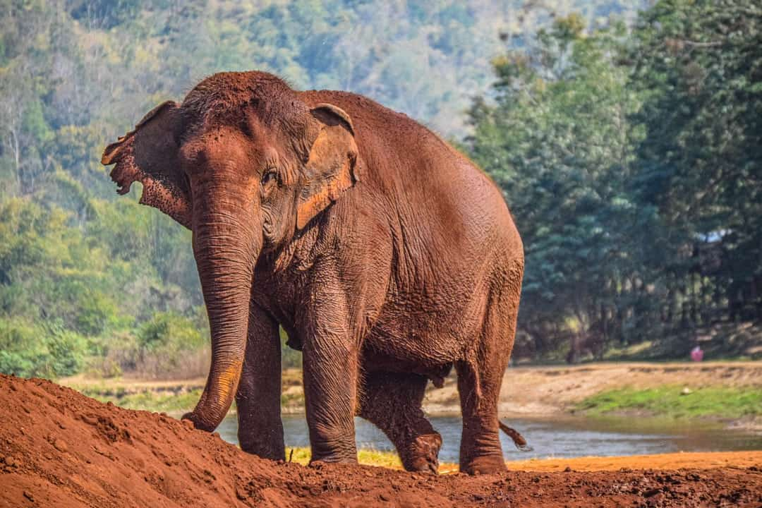 A large elephant walking down a dirt road